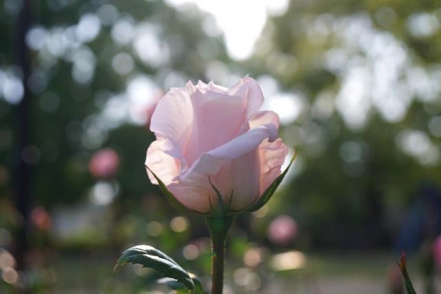 35歳から激減!女性ホルモン分泌促進を期待できる4つのアロマ