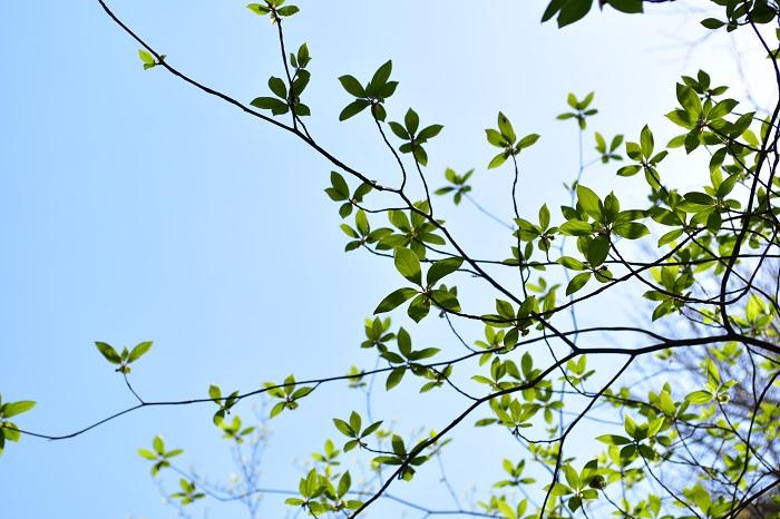 楊枝でおなじみ、「クロモジ」のアロマ
